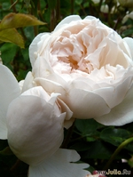 Баденские розы 2