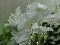 Mariposa Blanca - Belaya Babochka
