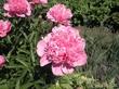 Пион садовый