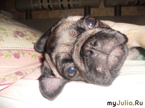 Ответы Mail Ru: У кого есть собака породы мопс