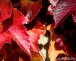 красота-краснота, осень в красном