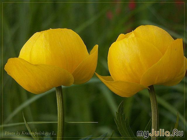 Желтые цветы ленинградской области