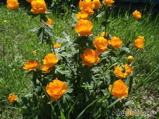 Цветы купальницы посадка и уход фото