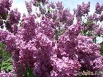 С душистой веточкой сирени весна приходит в каждый дом
