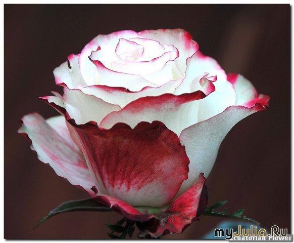 Лучшие в мире цветы