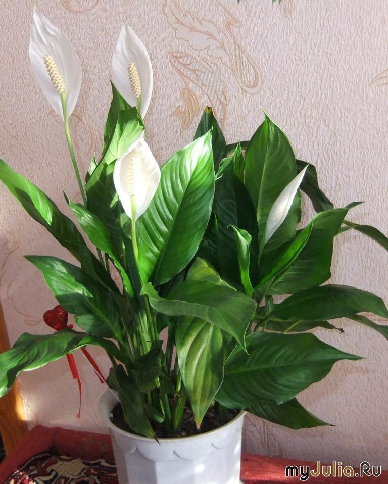 растение женское счастье