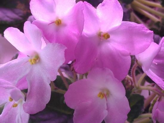 Розовый мотылек.