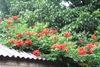кампсис- крыша цветет
