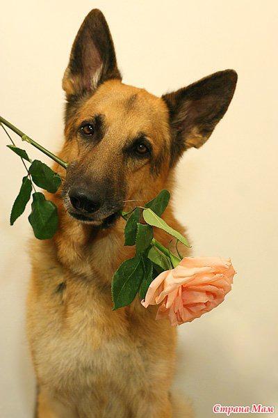 Фото овчарка с цветком