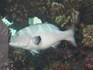 Свино-Рыб