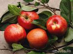 Плод раздора или здоровья?