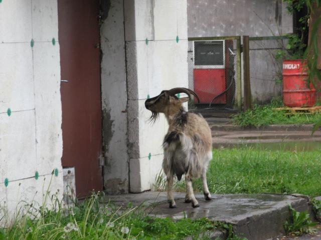 -Козлятушки-ребятушки,откройте двери...