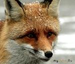 В селе на Николаевщине введен карантин из-за бешеной лисы