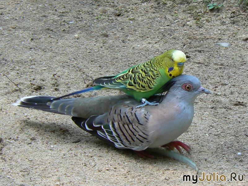 Ученые: Хохлатые бронзовокрылые голуби подают сигналы особыми перьями