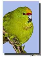 Бегающие попугайчики, или какарики