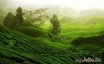 Волшебное путешествие на чайные плантации