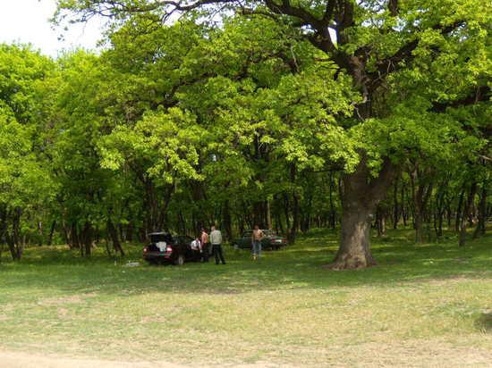 Старый дуб в заповедной зоне - Провалье
