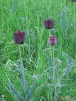 С выставки тюльпанов