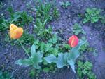 Тюльпаны. Только тюльпаны
