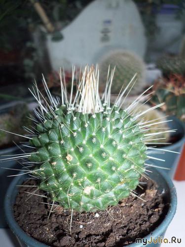Mammillaria spinosissima pico