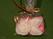 Мыльные первоцветы