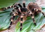 Ядовитые  пауки ,  оказывается - полезны!