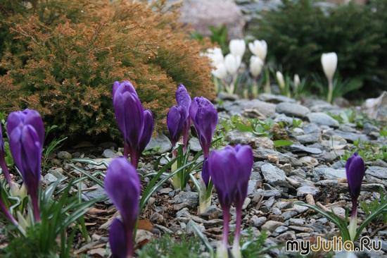 Первоцветы- крокусы