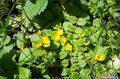 на самой глубине под луговыми травами желтеют цветы вербейника монетчатого или лугового чая