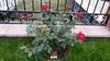 моя плетистая роза севера (Сыктывкар ,Респ.Коми)