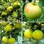 Яблоки возле дома моего