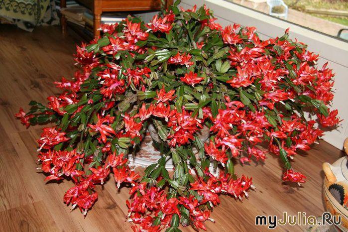 Комнатные цветы декабрист