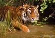История с Тигром. ( Или как Тигр добыл себе еду!)
