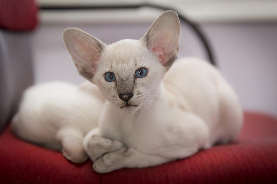 Мифы об ориентальных котах