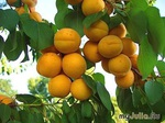 Сад с абрикосами