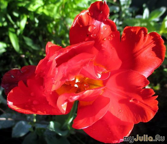 Попугайный тюльпан