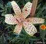 Пятнистая лилия