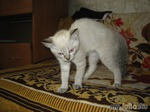 """Как """"пропал"""" наш котенок Барон (фото из интернета, мои фотографии на родине остались)"""