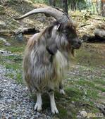 Коза и козий пух