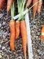 Морковь ранняя: июль