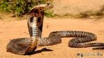 Огромная кобра приползла в деревню и попросила людей о помощи
