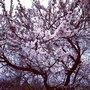 Даже деревья зацвели, радуются светлому празднику Пасхи.