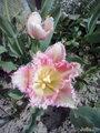 """Тюльпан """" Беллфлауэ"""" бахромчатый"""