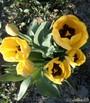 "Тюльпаны ""Гольден Апельдорн"""