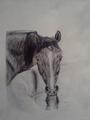 Чёрная лошадь, пьющая воду