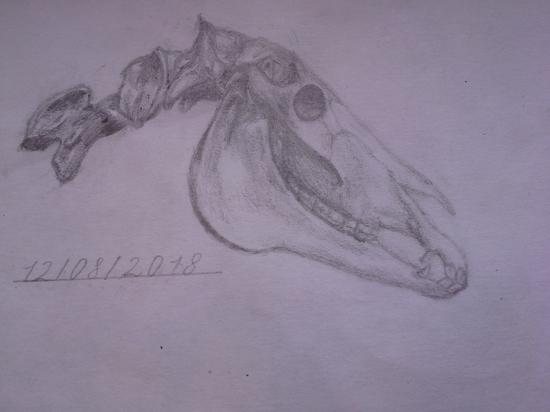 Череп лошади
