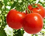 Как дела у помидора?