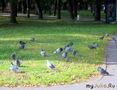 Новгородские голуби