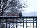 Голубь в снегопад