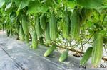Мои огурцы стоят зеленые ДО СЕНТЯБРЯ и НЕ болеют. Делюсь обработкой, которая помогает получать ОБИЛЬНЫЙ урожай